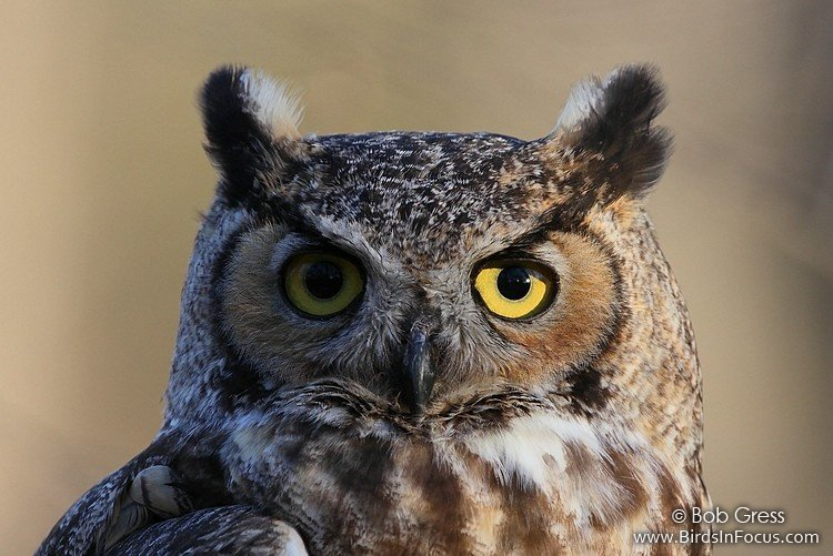 Great_Horned_Owl_Bob_Gress_120116_0784_KS