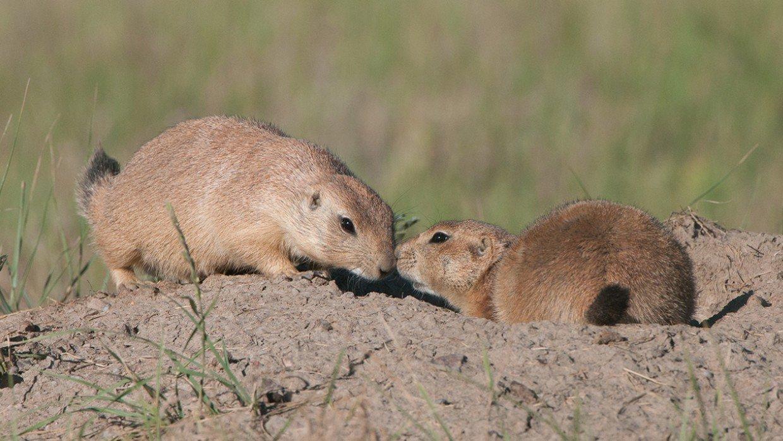 prairie-dogs-76163