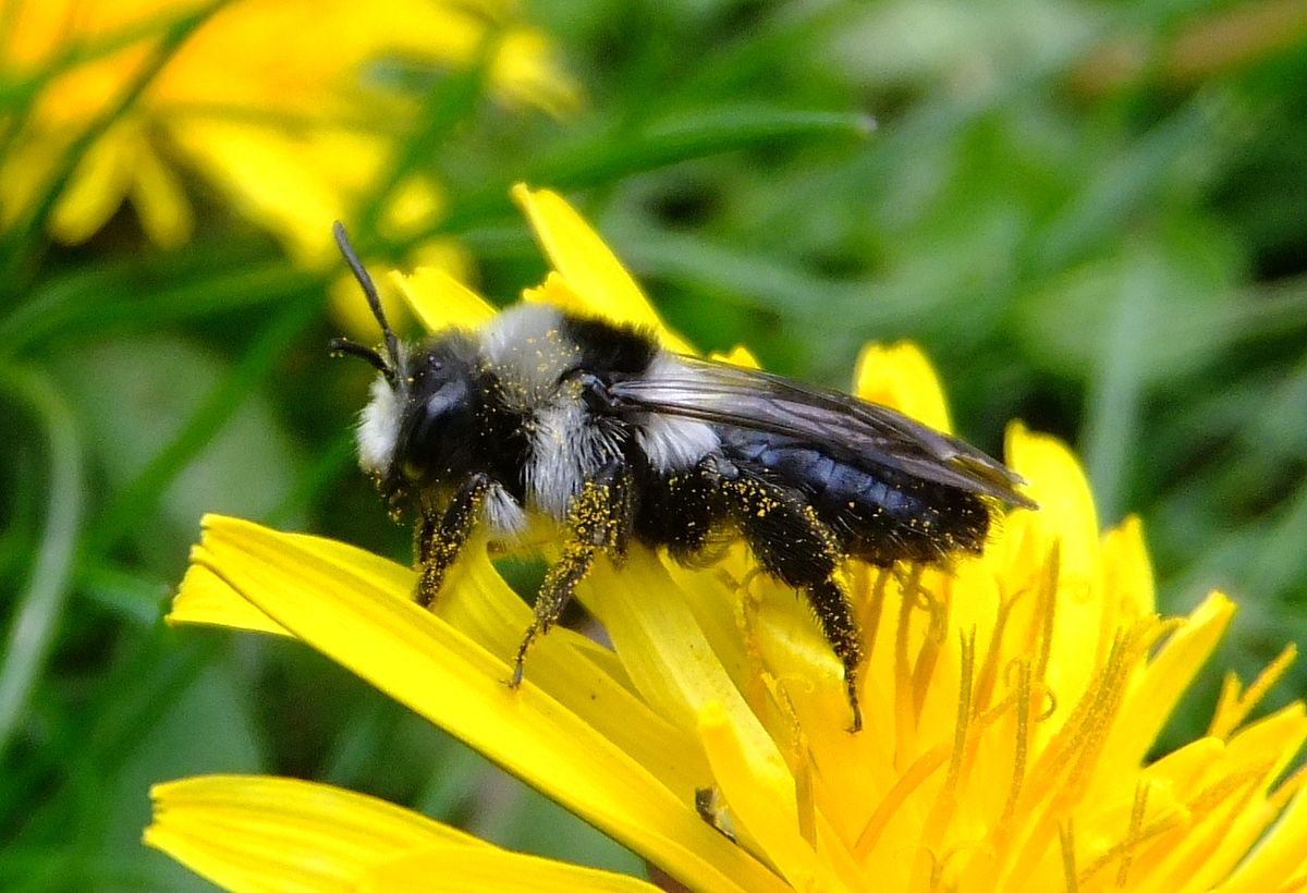 Ashy Mining Bee via Orangeaurochs