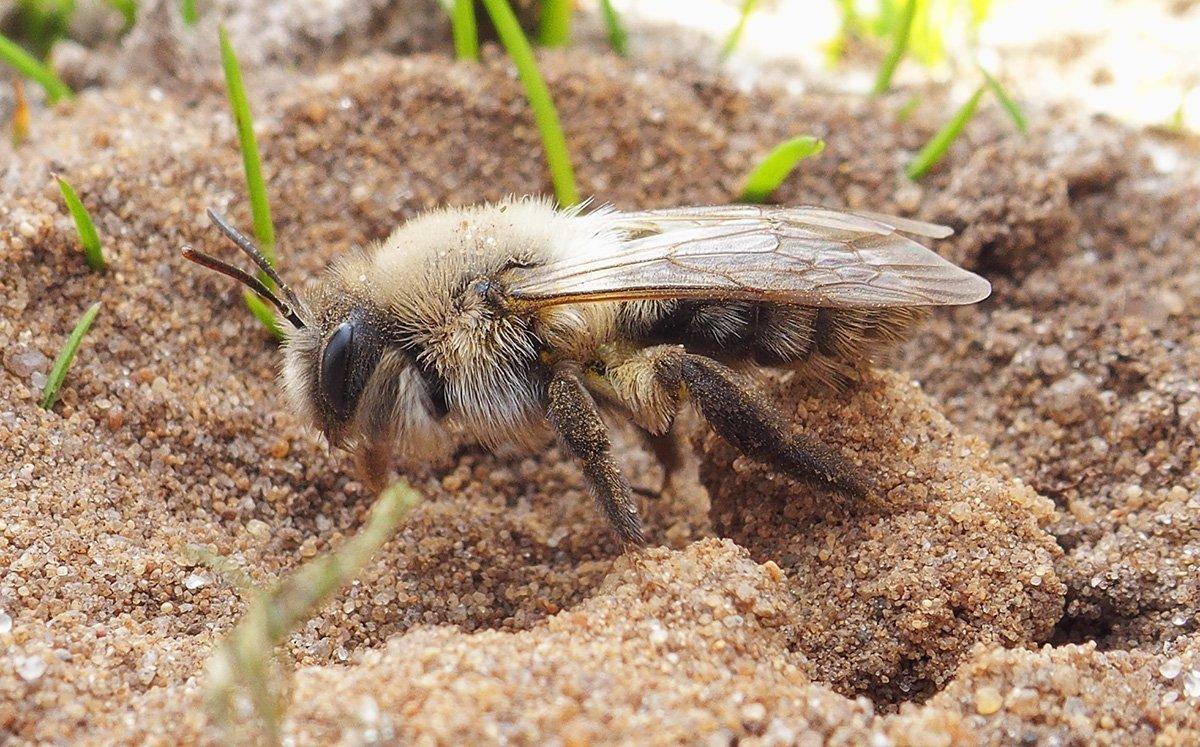 Grey-backed mining bee (Andrena vaga) by Oscar den Uijl