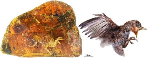 Baby Cretaceous Enantiornithes trapped in amber.