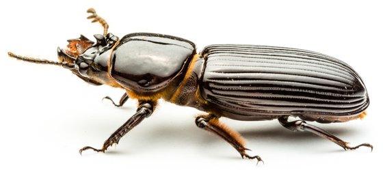 Beautiful bess beetle adult. Copyright © 2014 Derek Hauffe (BugGuide)
