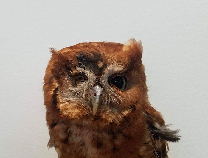 an eastern screech-owl with one eye