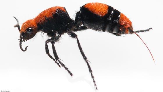 Velvet Ant - Scott Nelson (BugGuide)