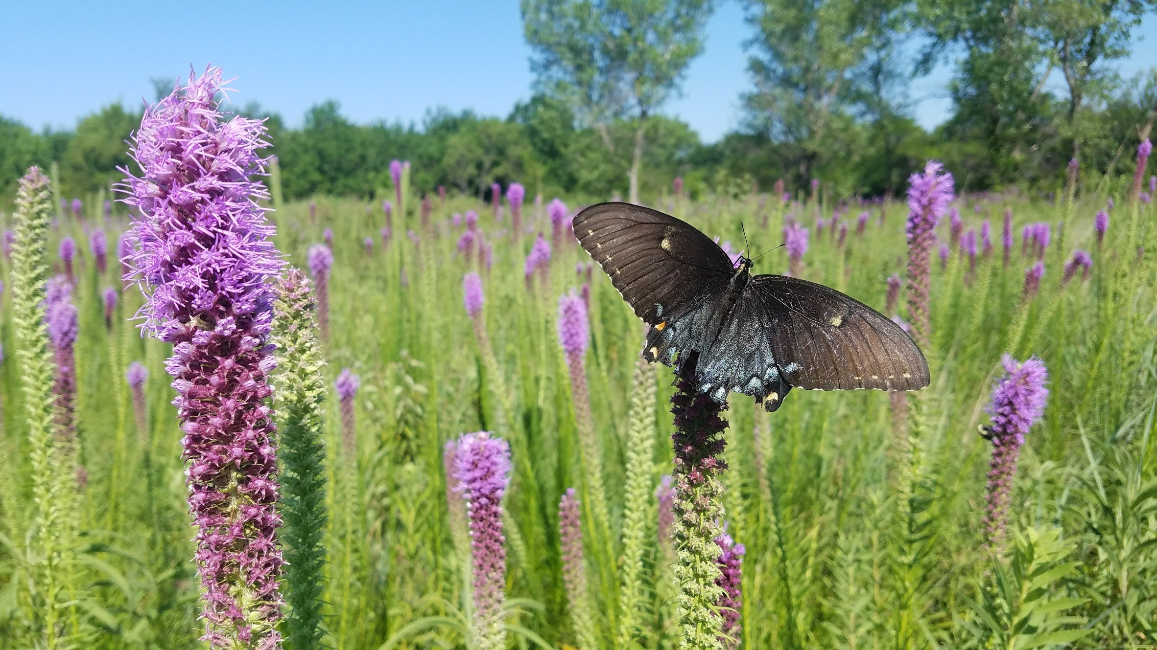 darkmorph swallowtail