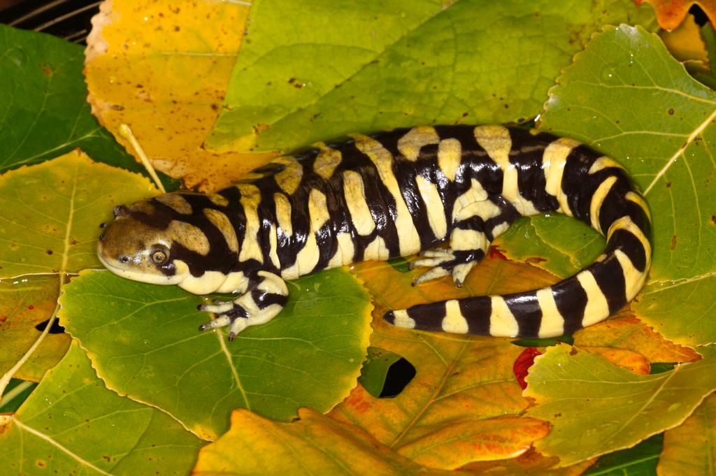 Barred-Tiger-Salamander_Bob-Gress_101105_9504_KS-min