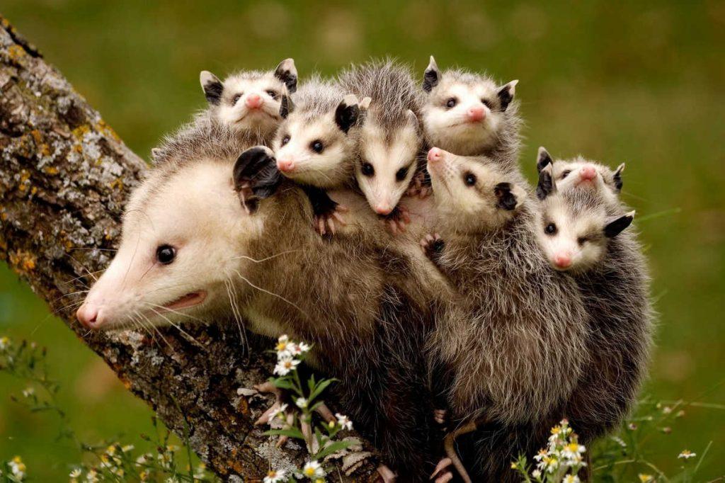opossum-babies-omega