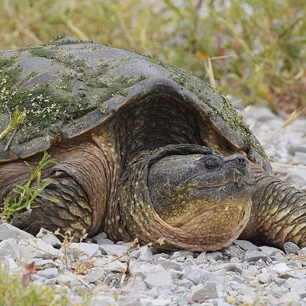 1200px-Snapping_Turtle_(34974955286)