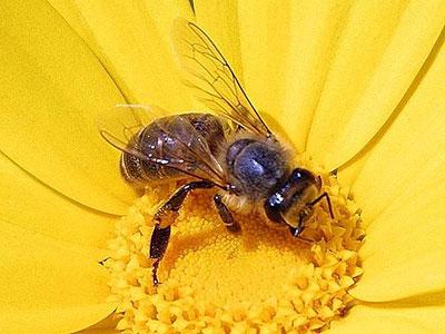 400px-honeybee