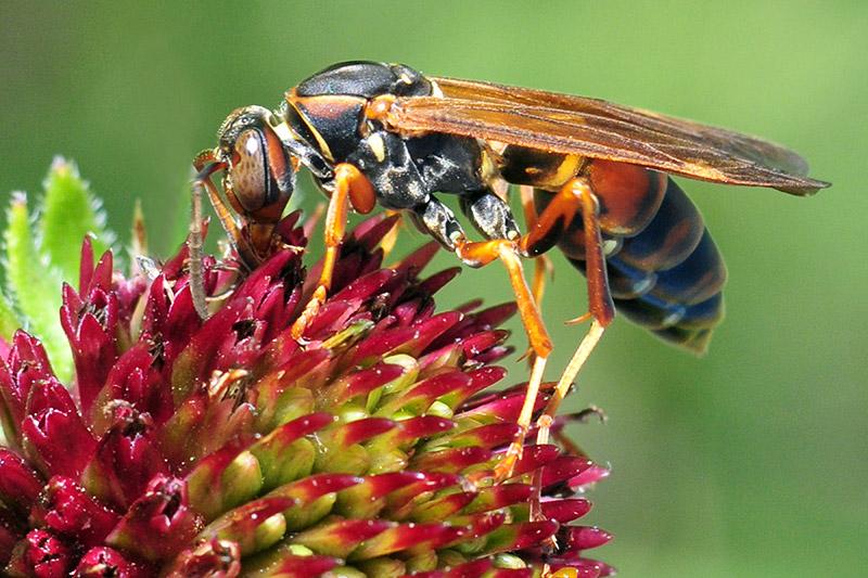 KS-CCNA-6729-paper-wasp
