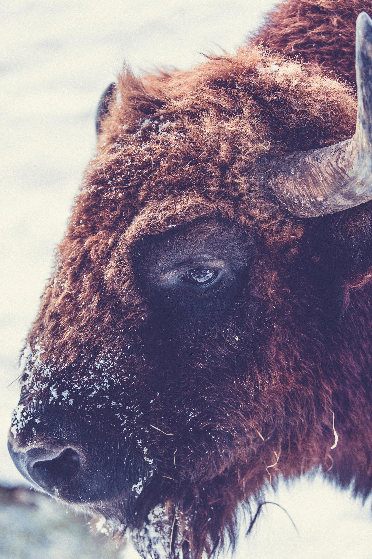 buffalo-closeup