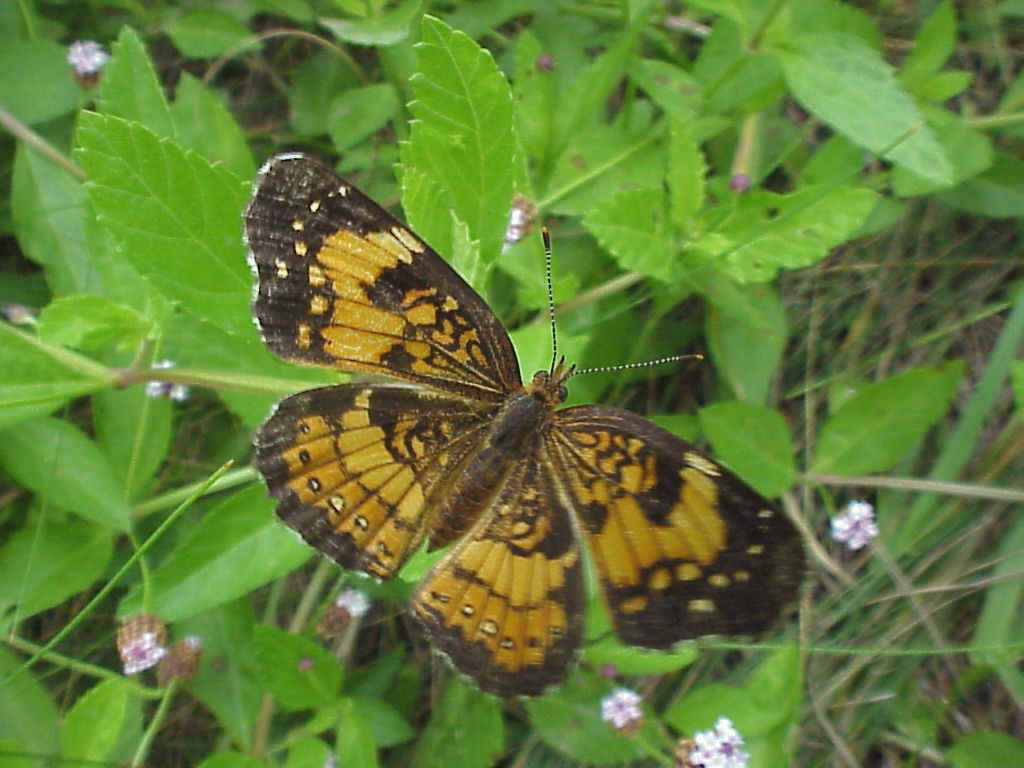 Silvery Checkerspot Photo by Jim Mason