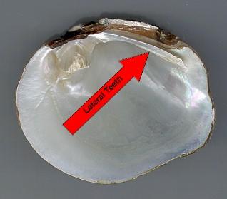 Lateral teeth of a Mapleleaf